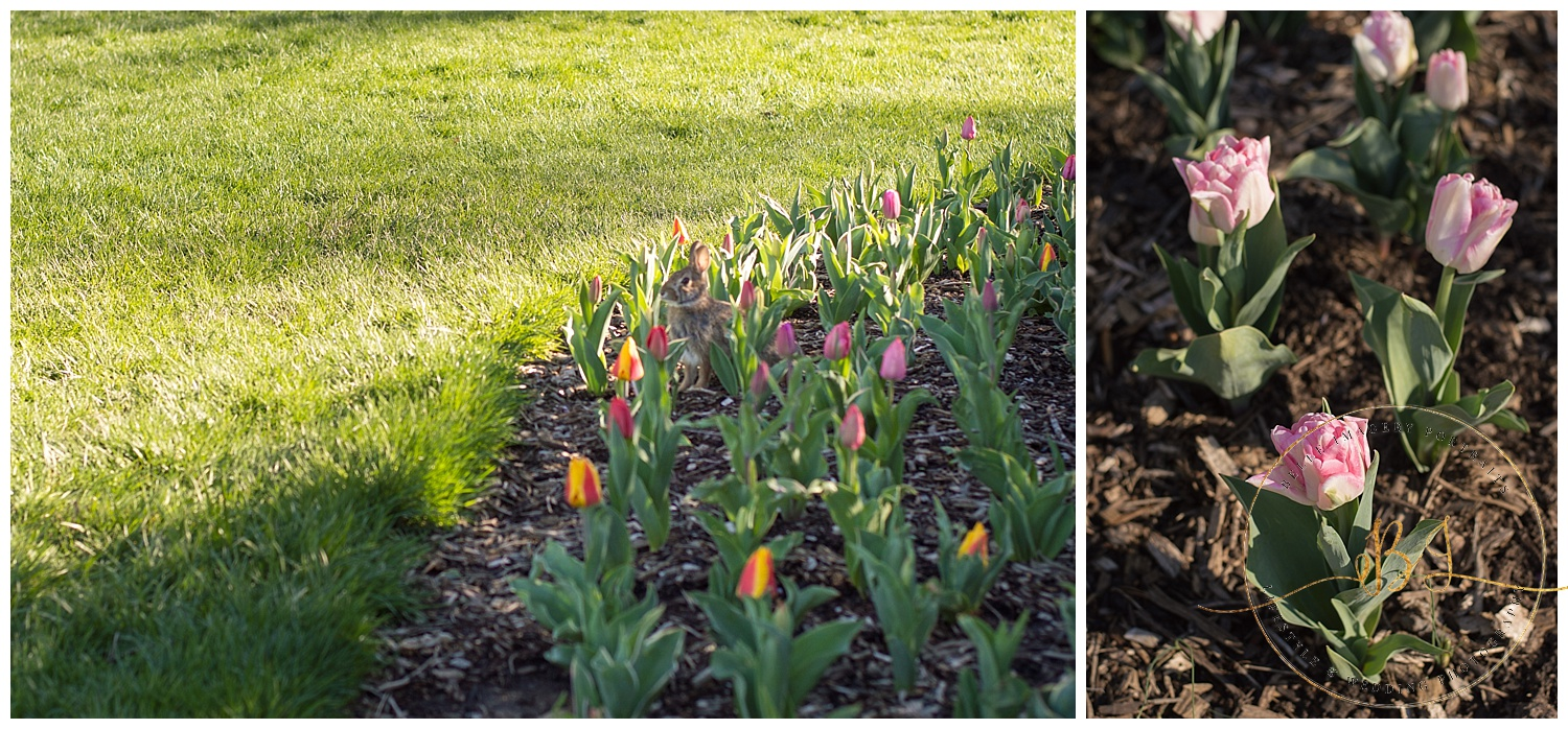 Hopping bunnies and beautiful tulips....