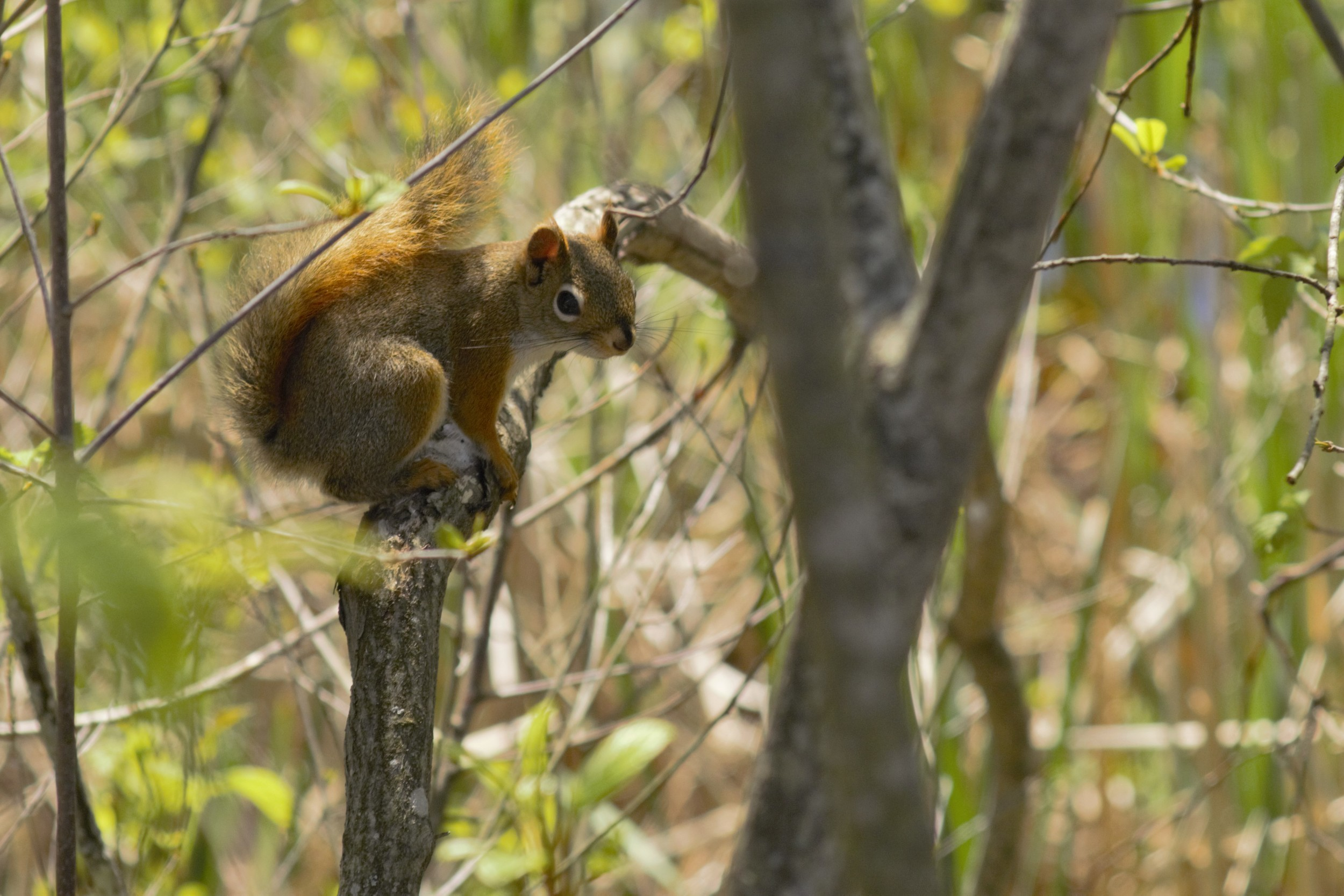 Brown Squirrel.jpg