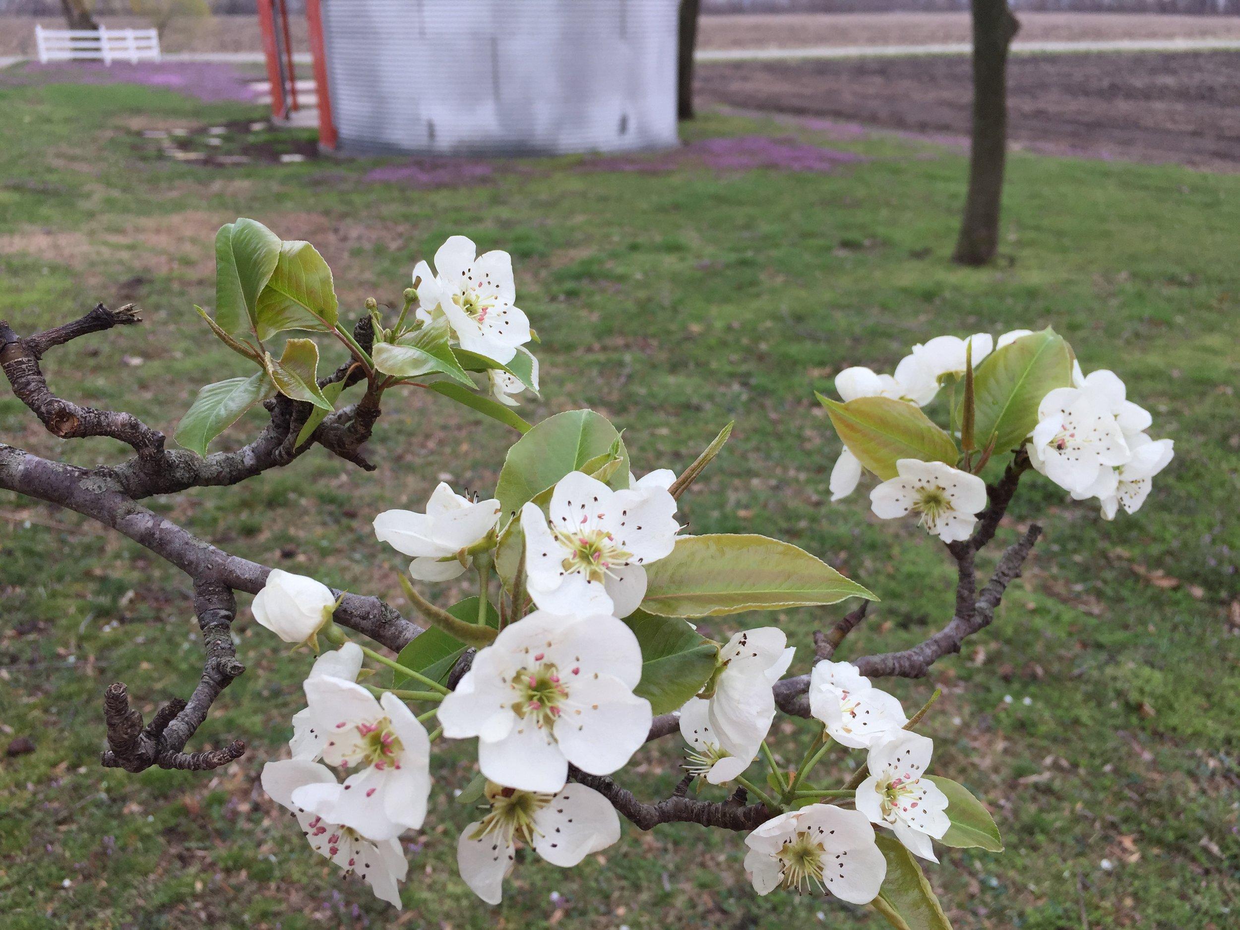 Pear tree in full bloom.JPG