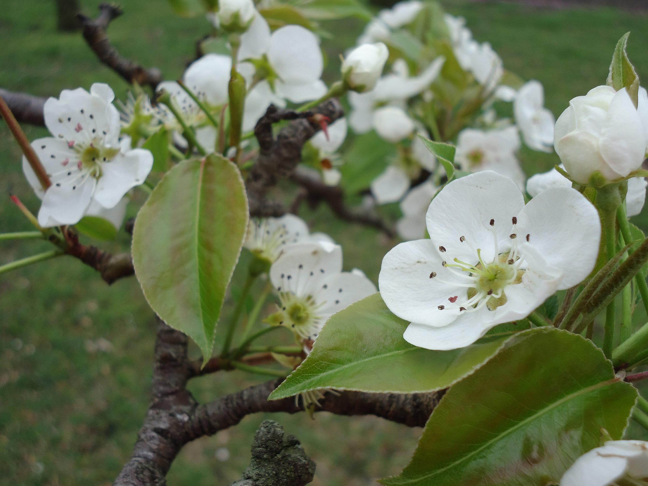 The Pear Tree in Full  Bloom.JPG