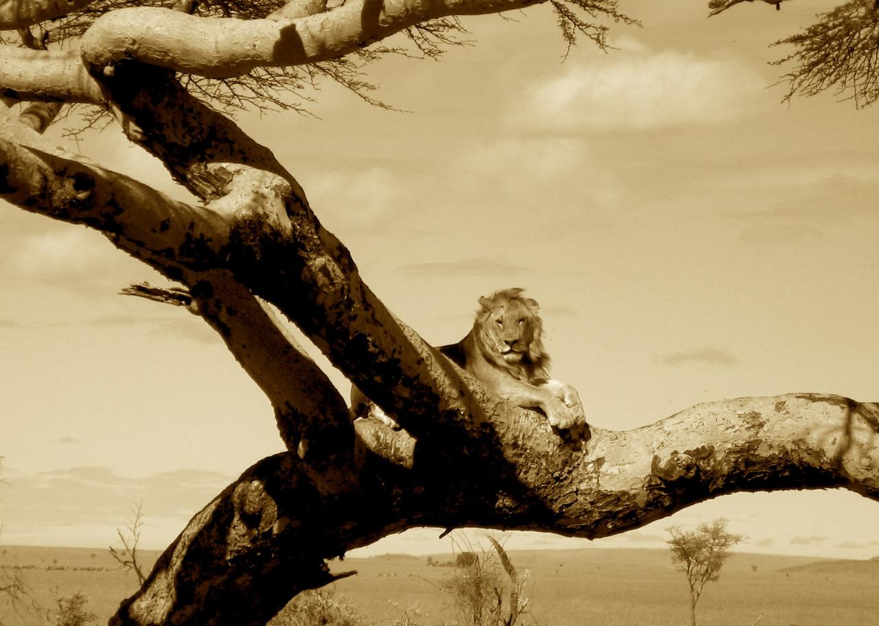 lionngoro.jpg