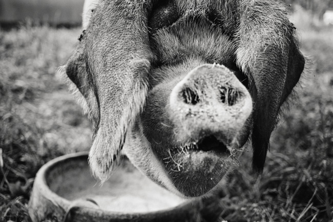 jarren vink glynwood organic farm farmer farming pig