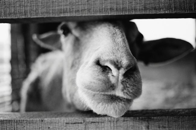 jarren vink glynwood organic farm farmer farming sheep