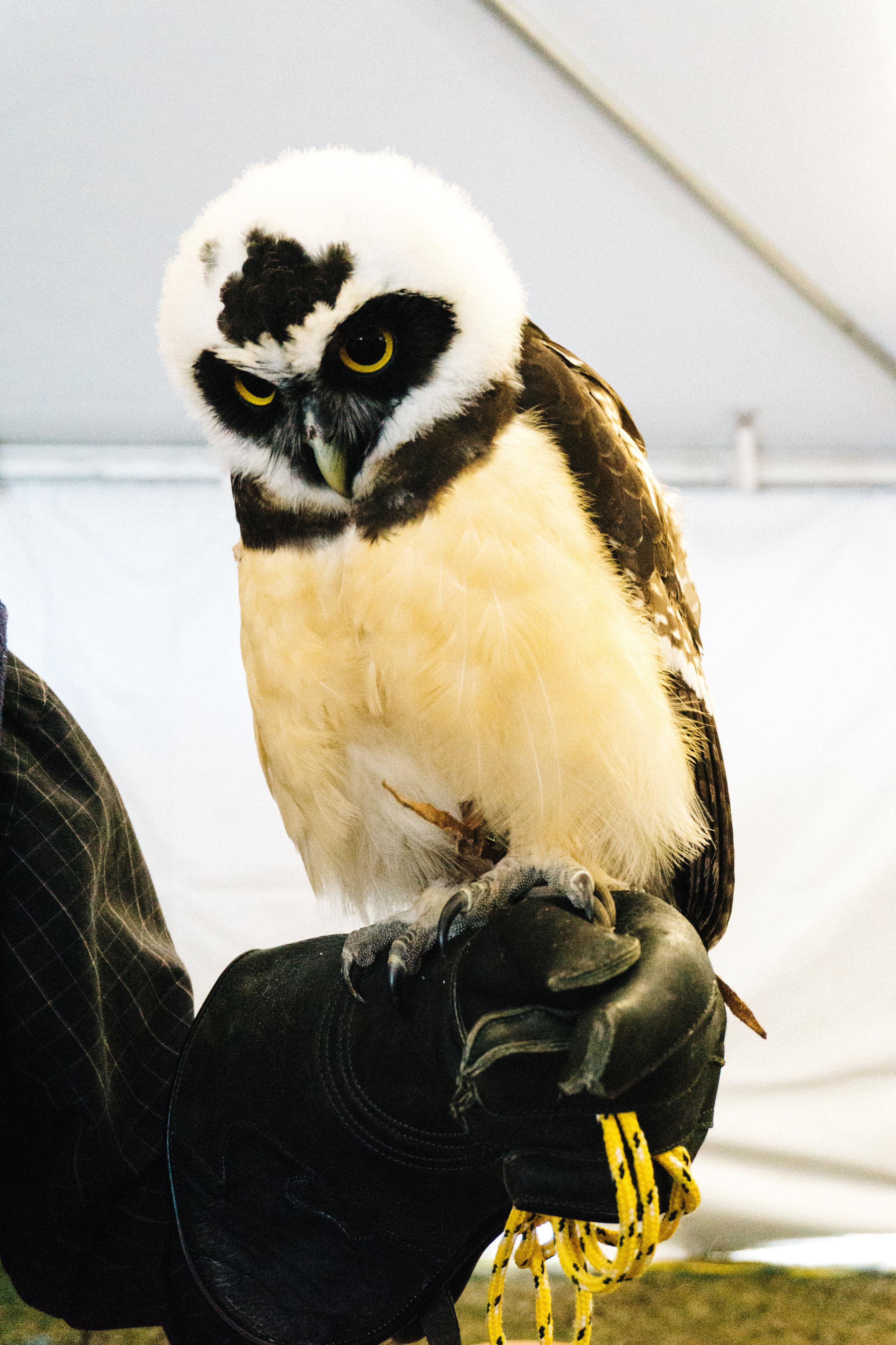 Spectacled Owl from the Center for Birds of Prey in Charleston