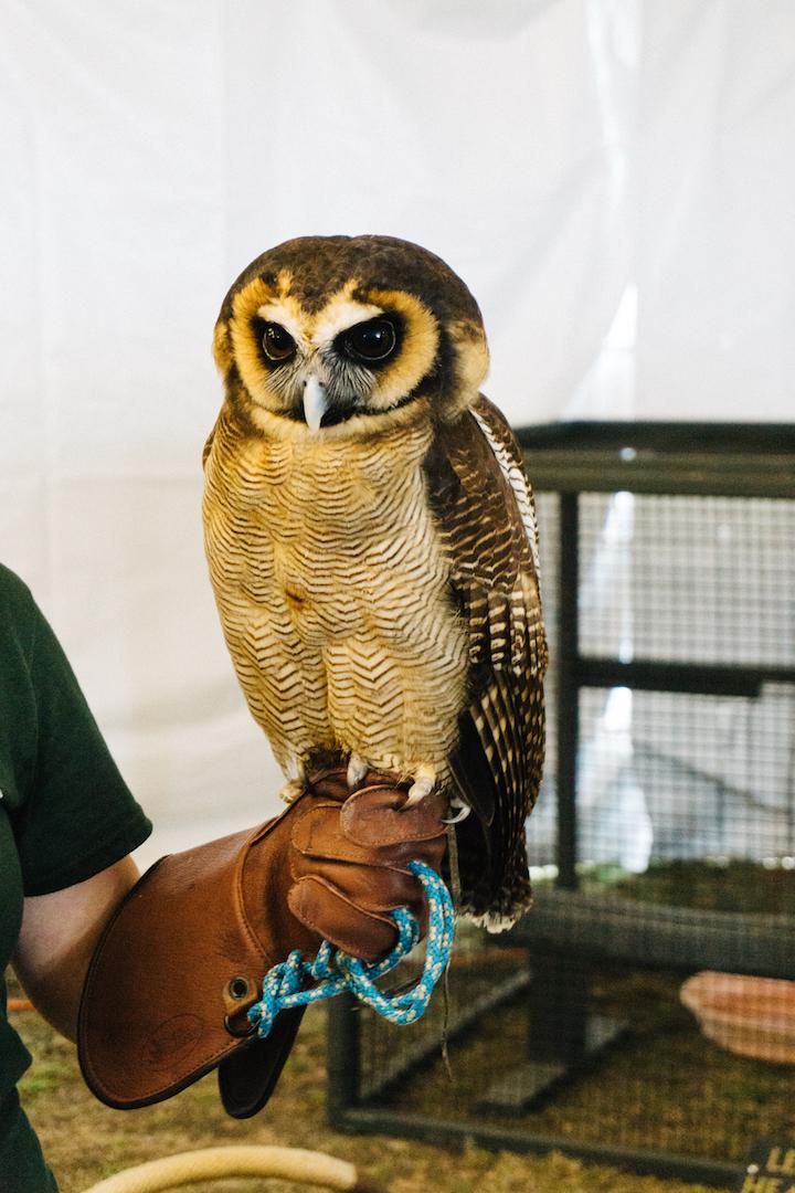 Eurasian Eagle Owl at Center for Birds of Prey in Charleston