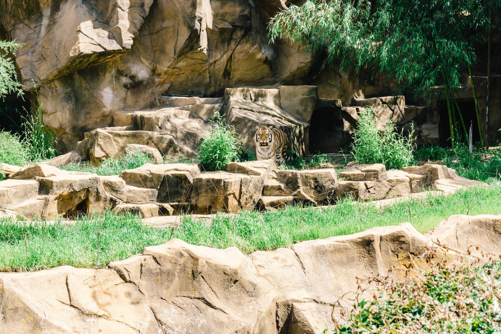 Tiger at Riverbanks Zoo