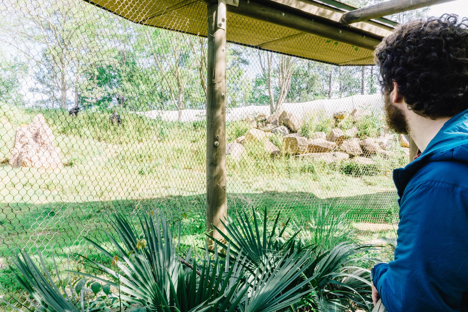 Watching the Gorillas at Riverbanks Zoo