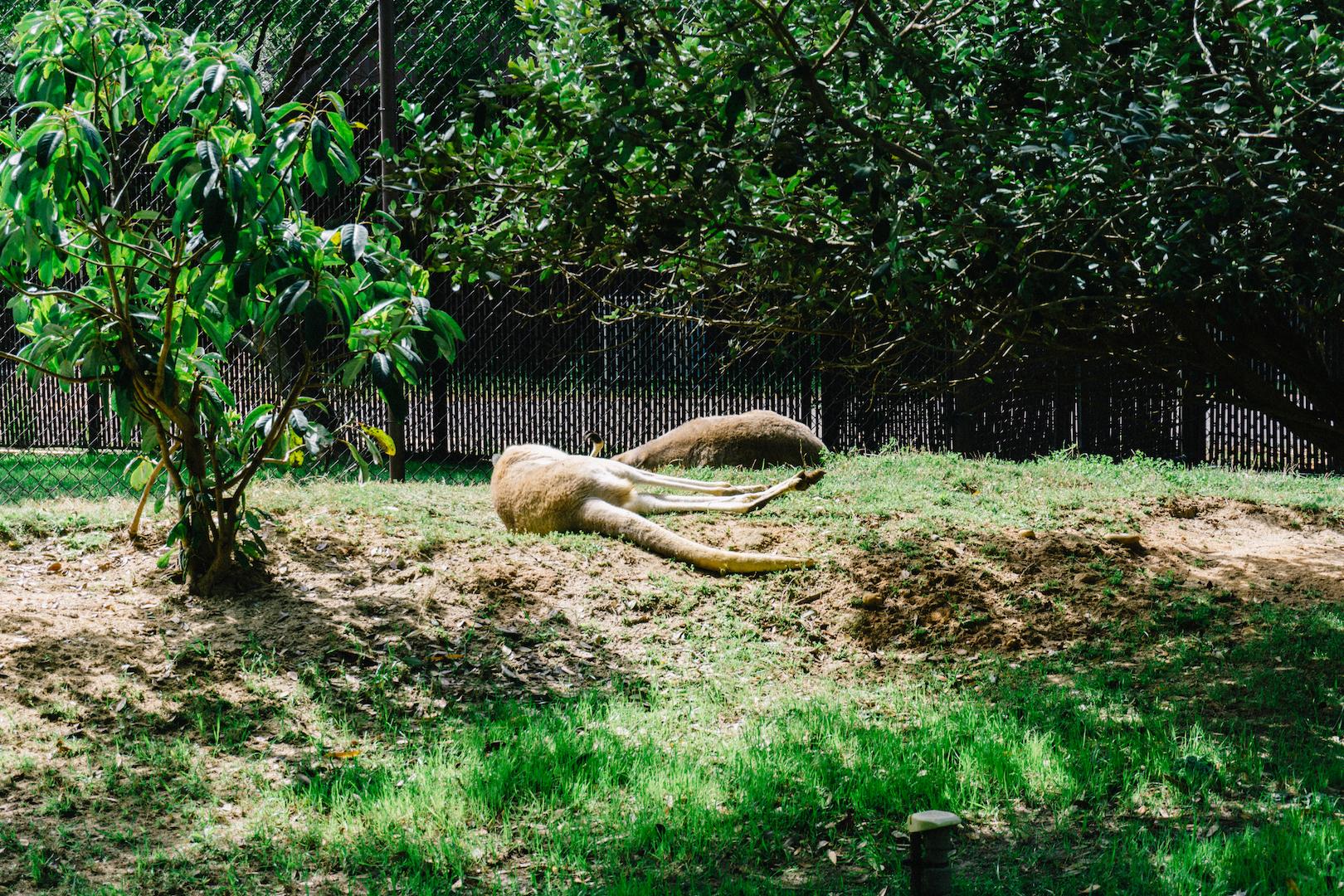 Kangaroos at Riverbanks Zoo