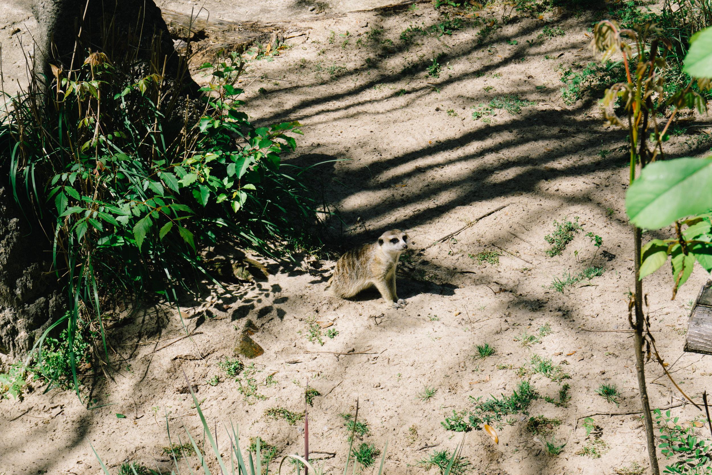 Meerkat at Riverbanks Zoo