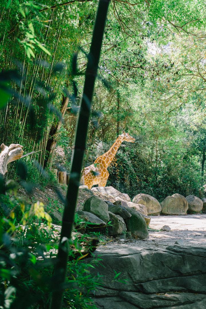 Giraffe at Riverbanks Zoo