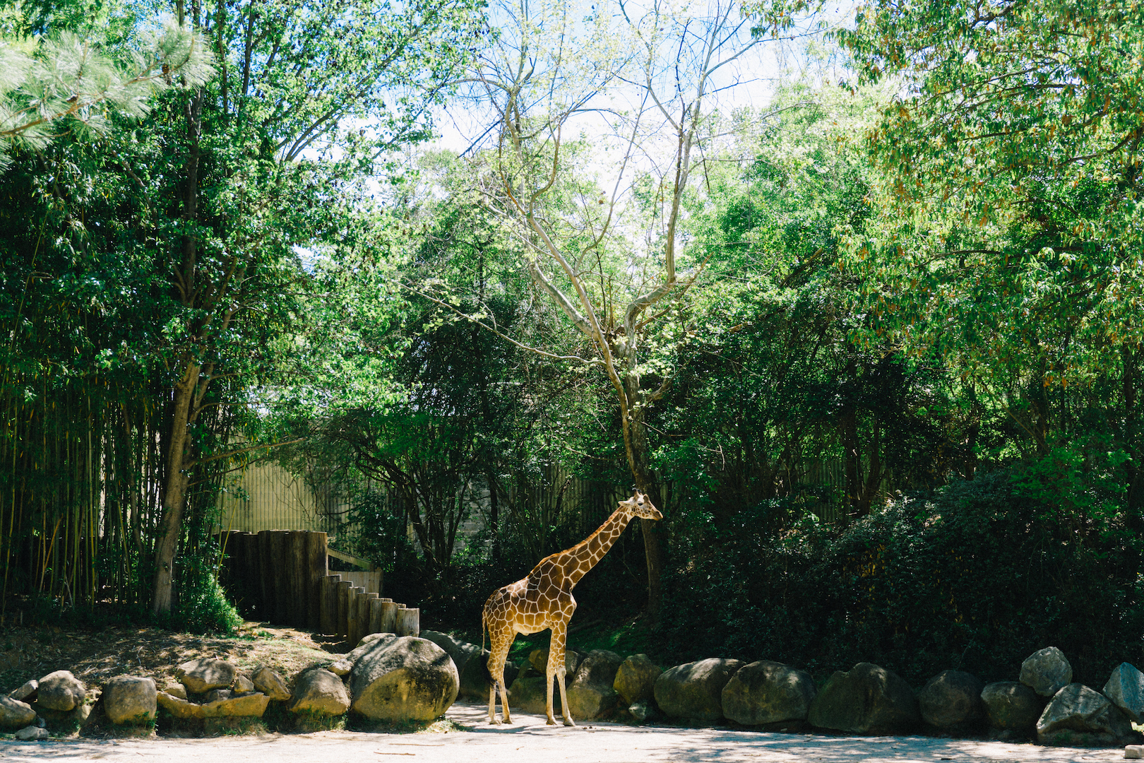 Giraffe in field