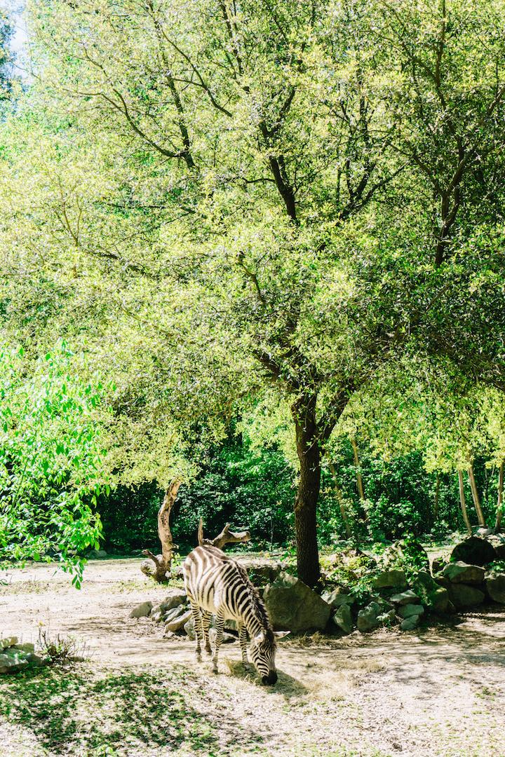 Zebra at Riverbanks Zoo