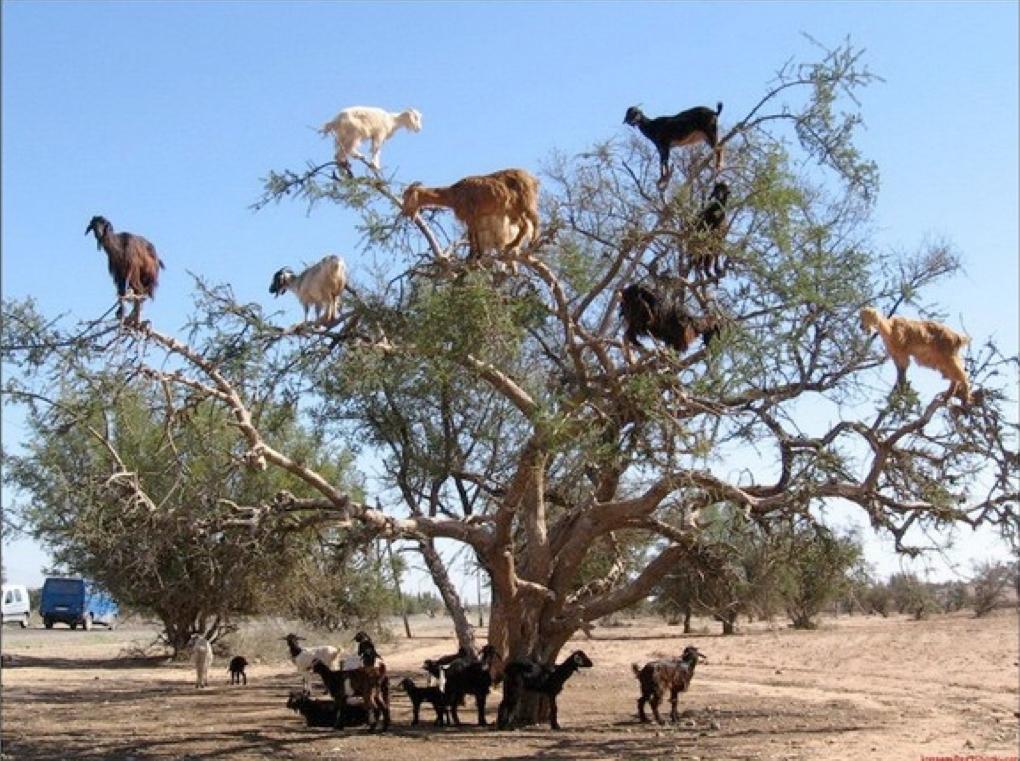 goats in tree.jpg