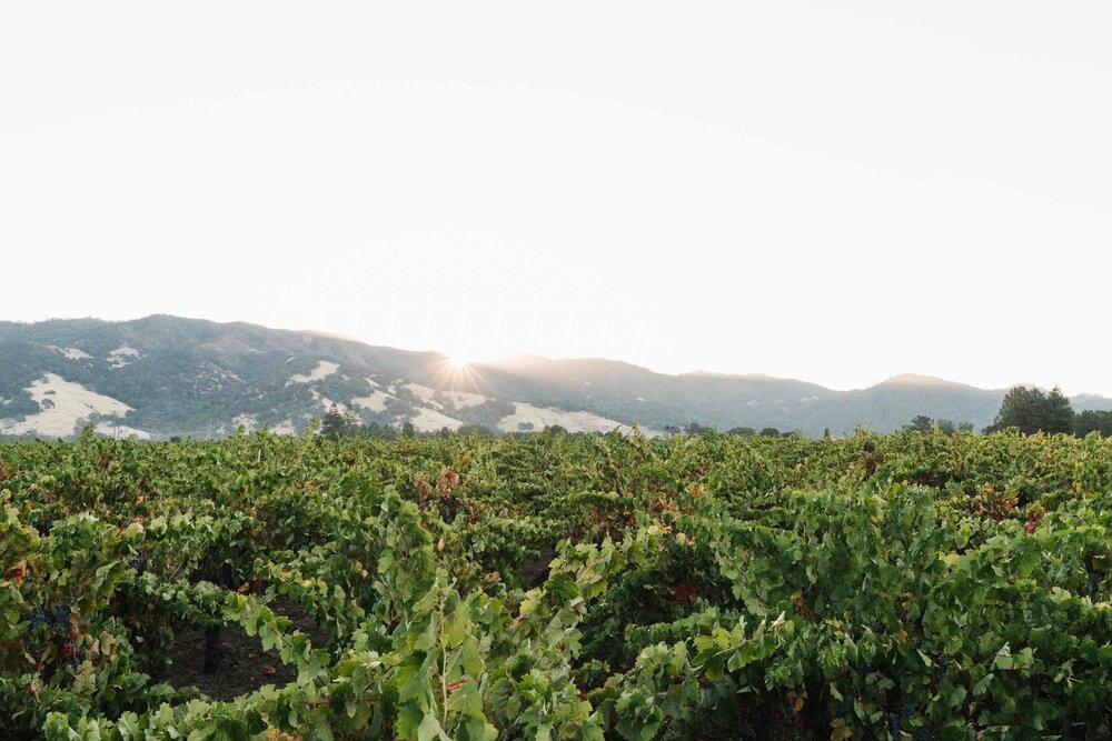 Sun rises over the head-trained vine jungle at Ricetti Vineyard in Mendocino County.