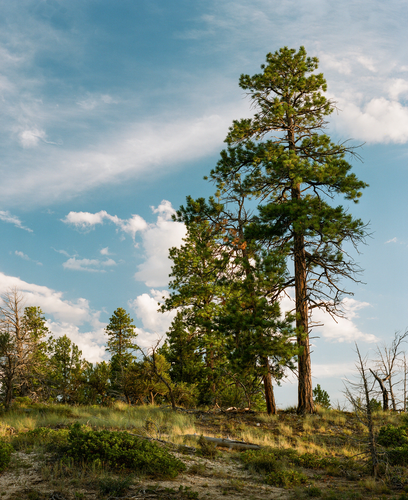 _bryce tree.jpg