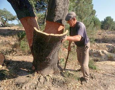 Cork Tree Harvest.jpg