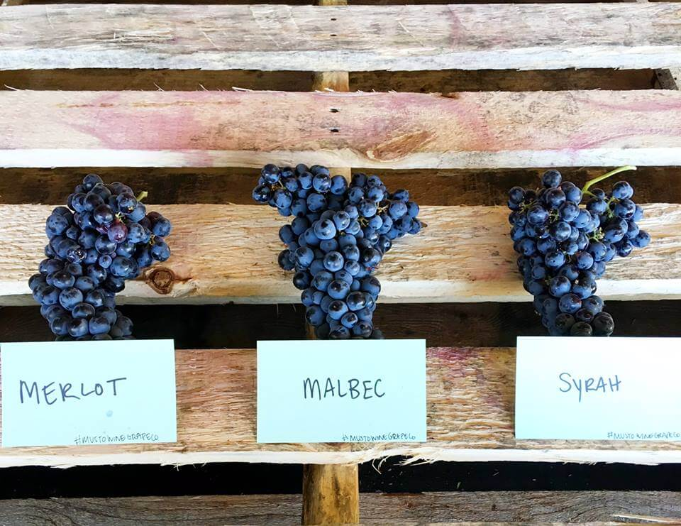 Musto Chilean grapes (1).jpg