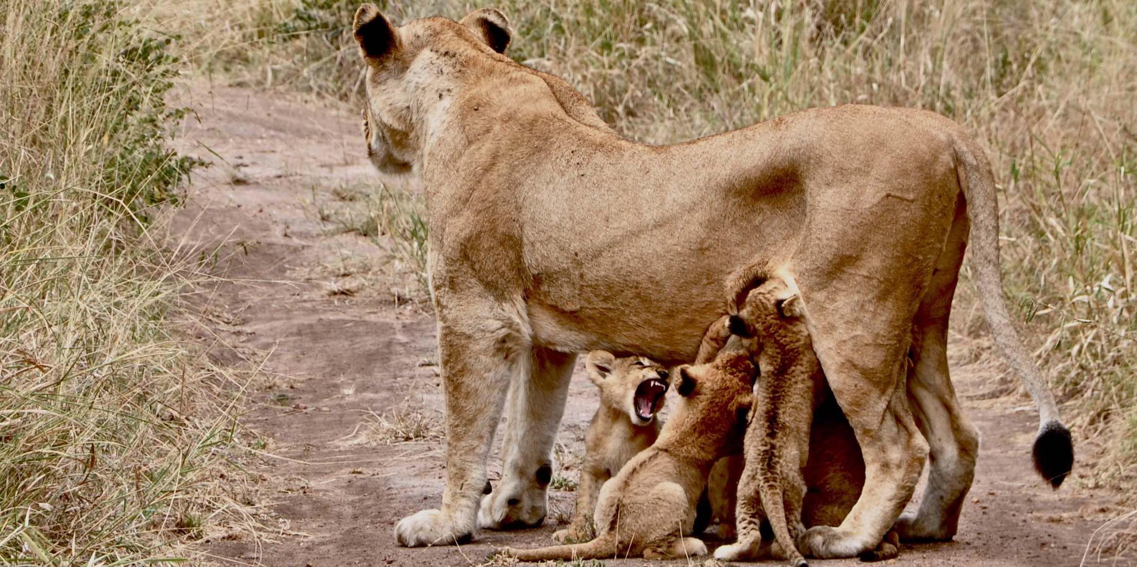 lion2 copy.jpg