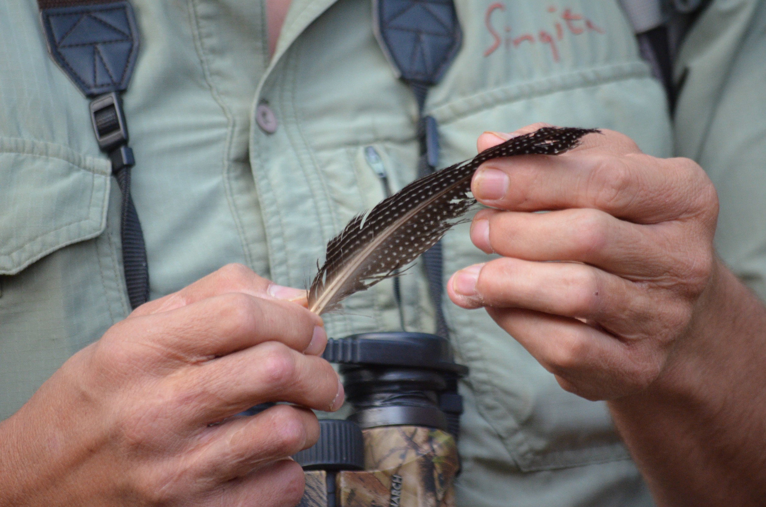 Crested Guinea Fowl Feather.JPG