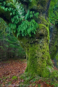 sphagnum moss and Licorice Ferns growing on a Big Leaf Maple tre