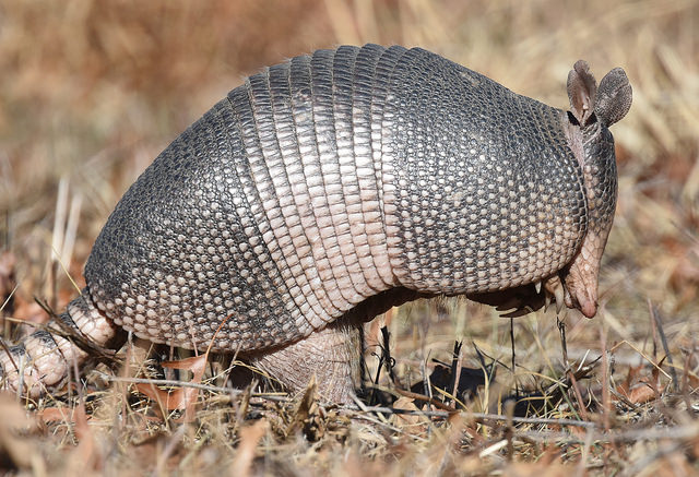 Nine-banded Armadillo by  Andy Reago & Chrissy McClarren