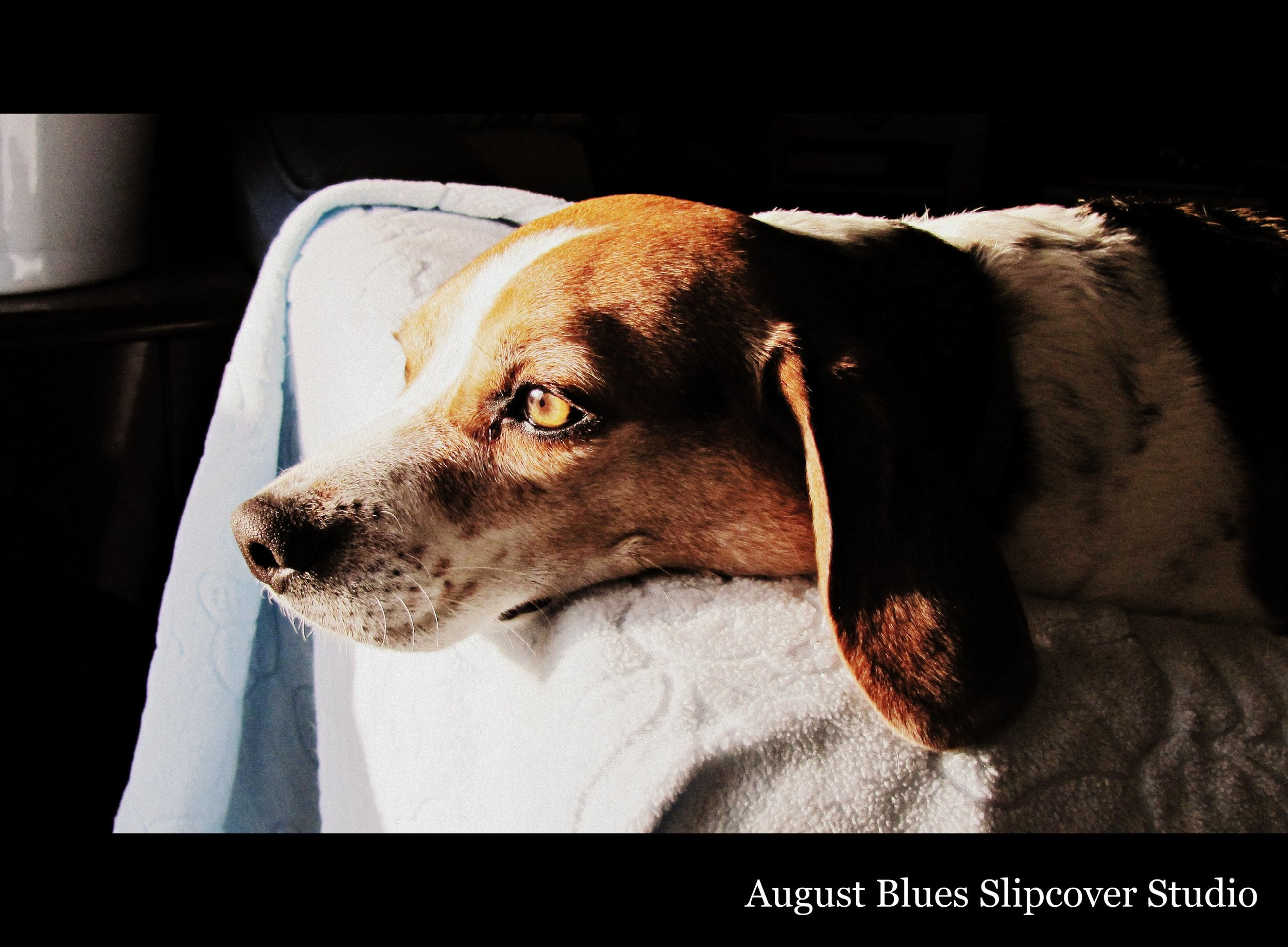August Blues - the beagle