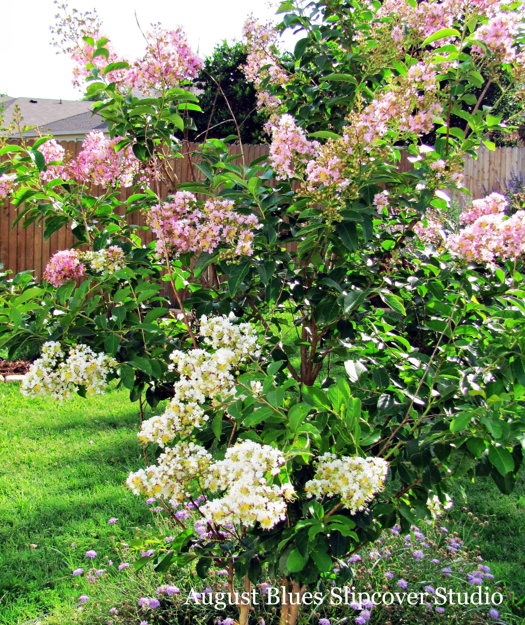 August Blues - Crepe Myrtle