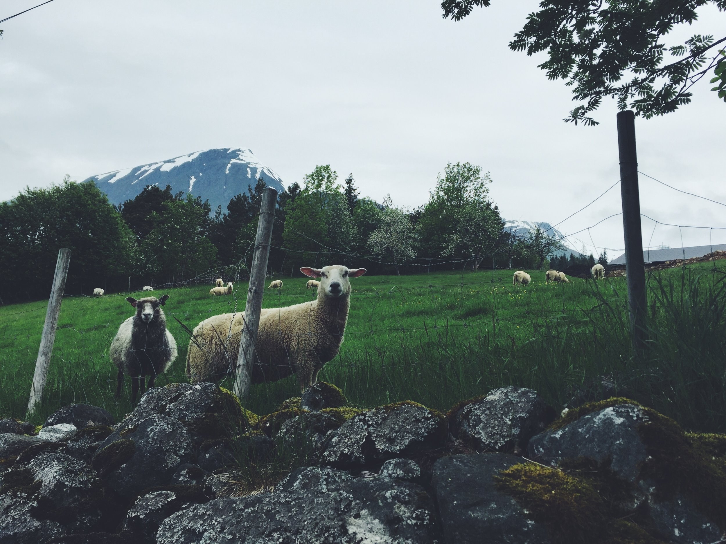 Our sheep friends, Isfjorden, Norway.