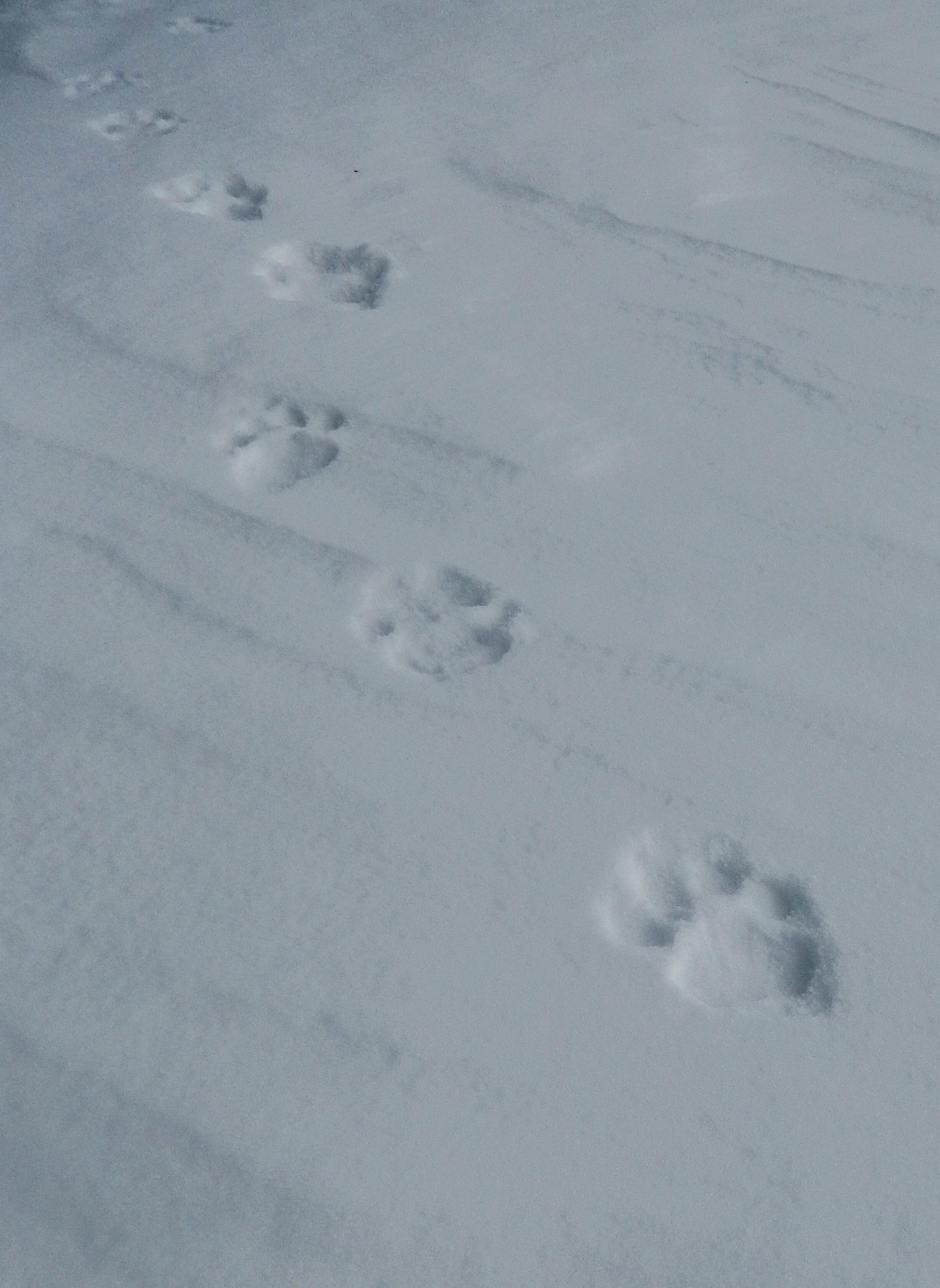 Snow Leopard tracks near high camp