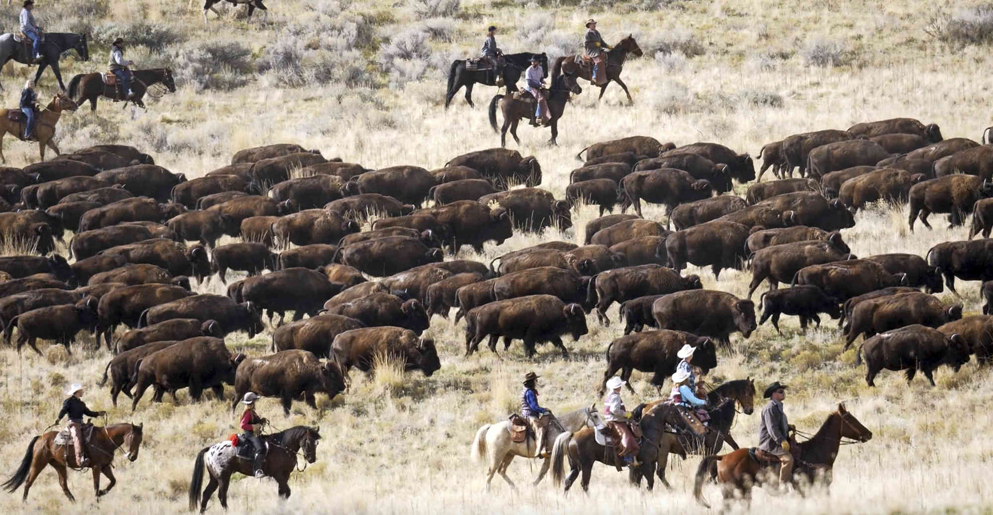 Antelope Island Bison Roundup - Dates: October 23-27, 2020Duration: the event itself is 1 day, the organized trip will be 5 days
