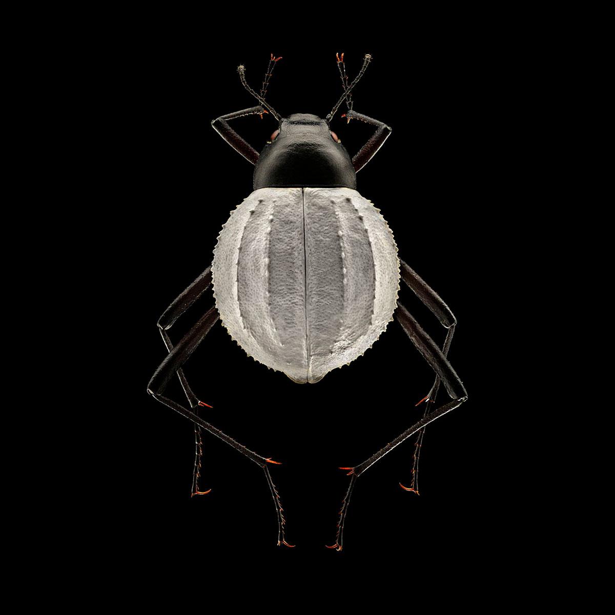 """""""Darkling Beetle Wall"""" By Levon Biss"""