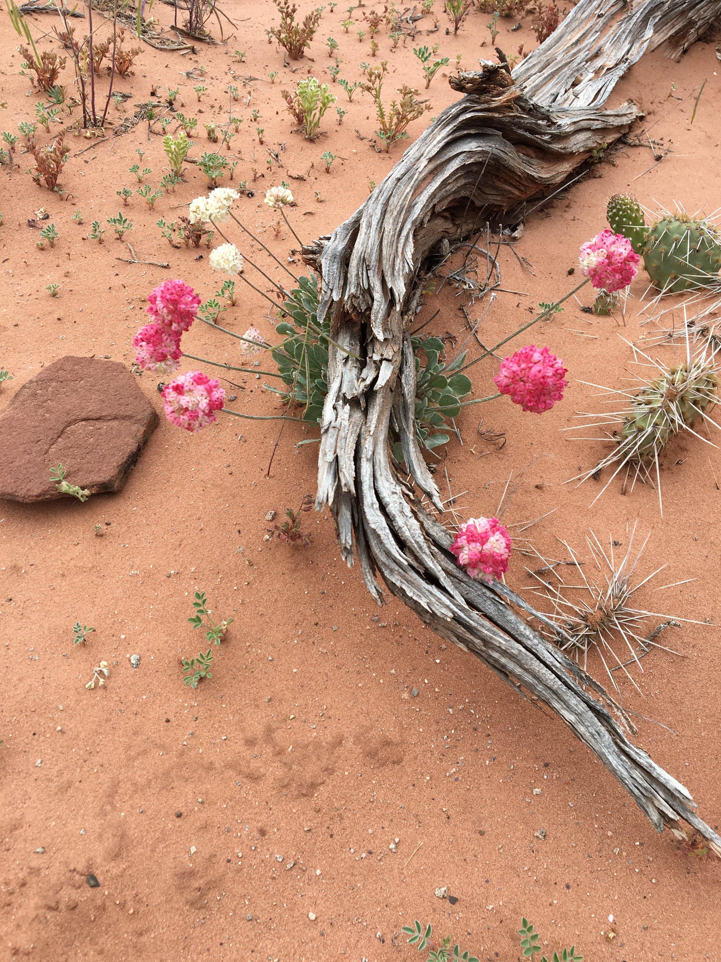 desert flower2.JPG