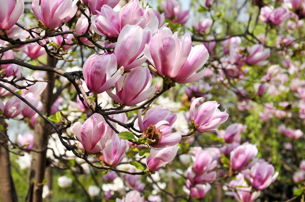 CherryBlossom2019.jpg
