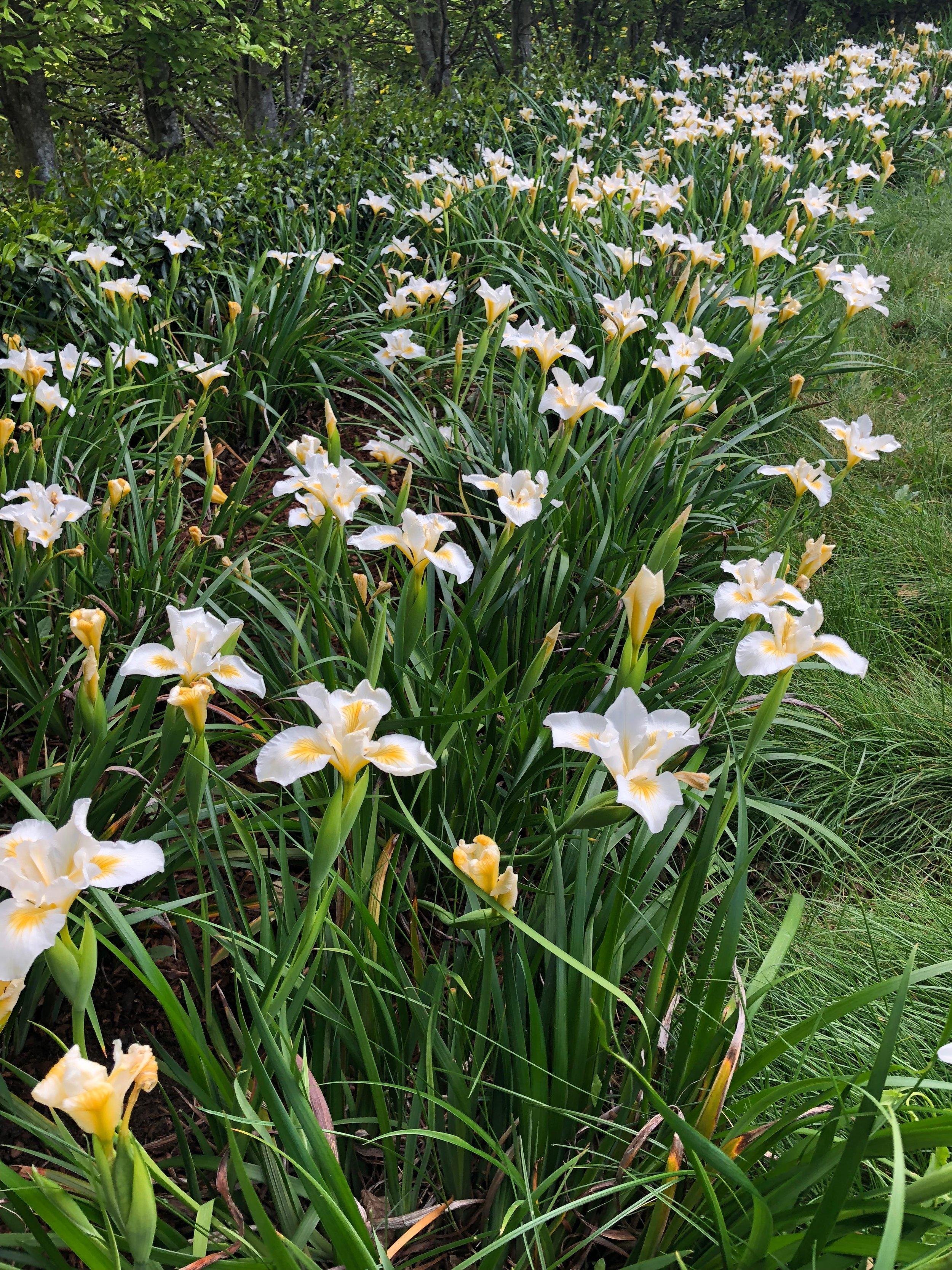 Diana's White Douglas Iris.jpg