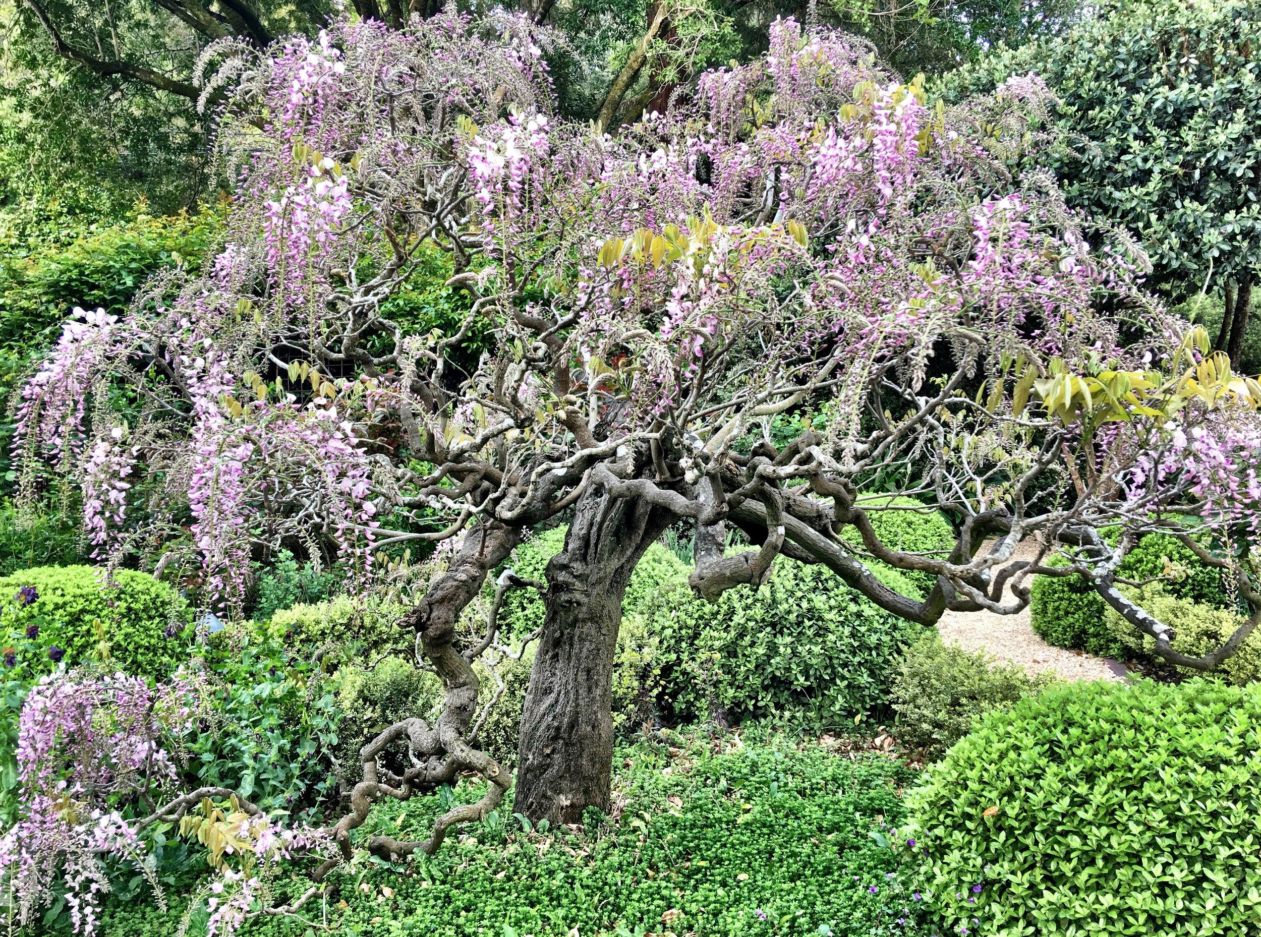 Susan Wisteria tree.jpeg