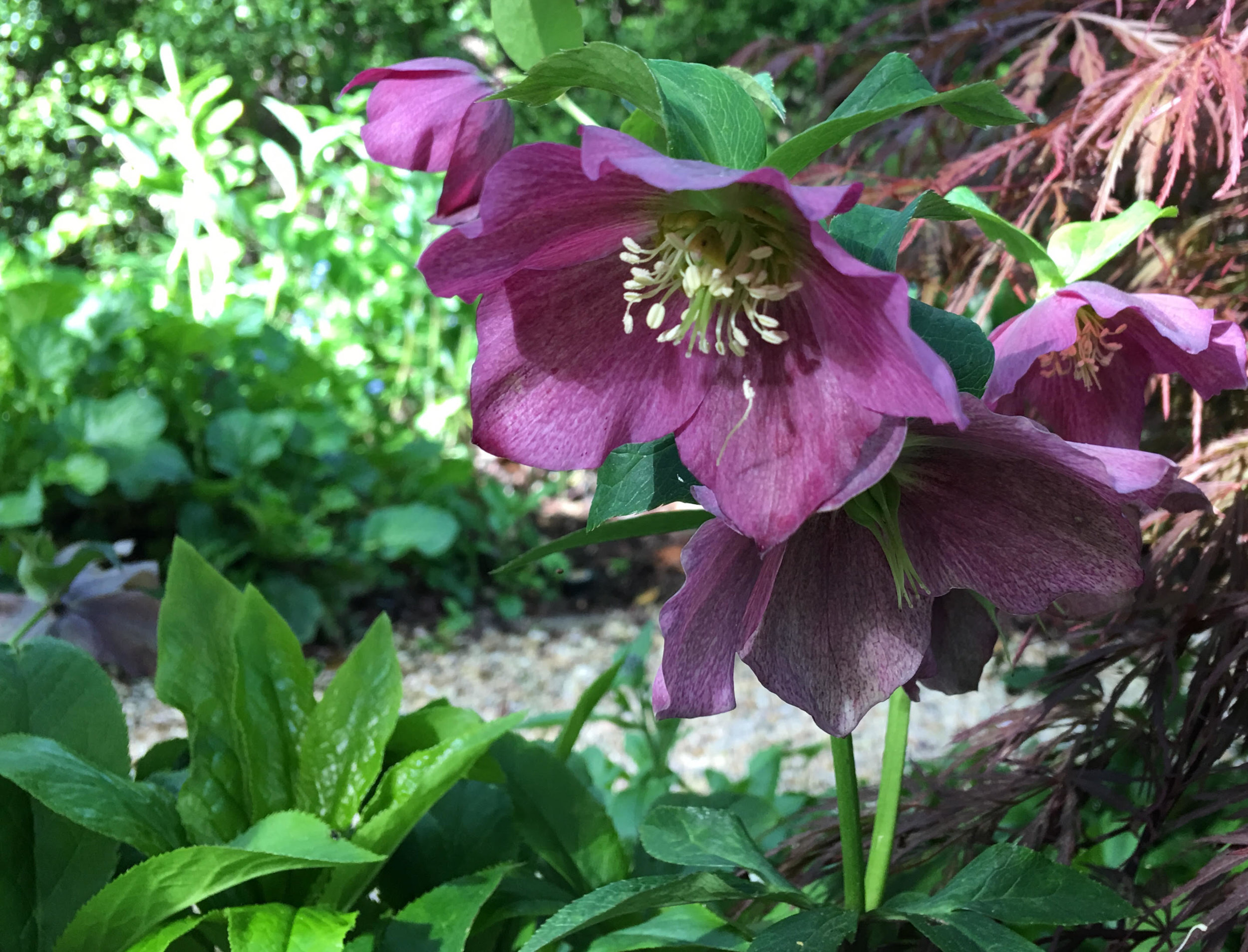 Susan's Garden Hellebore.jpg