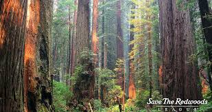 redwoods.jpeg