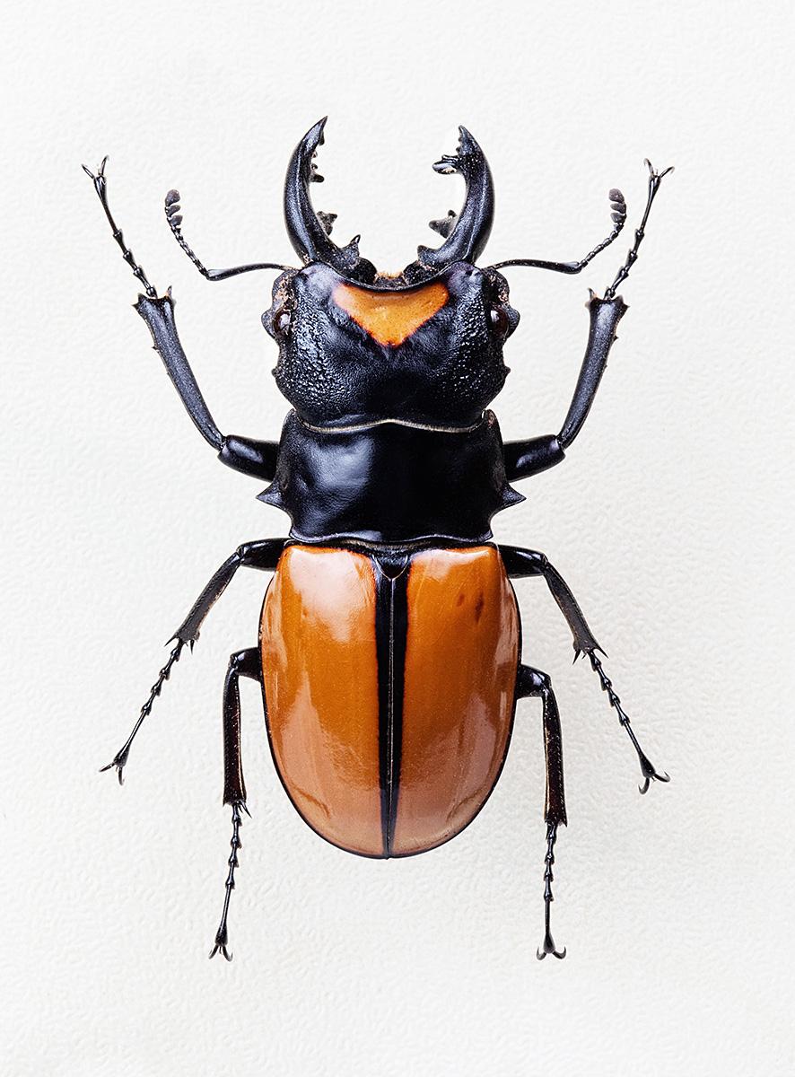 Stag Beetle 1200.jpg