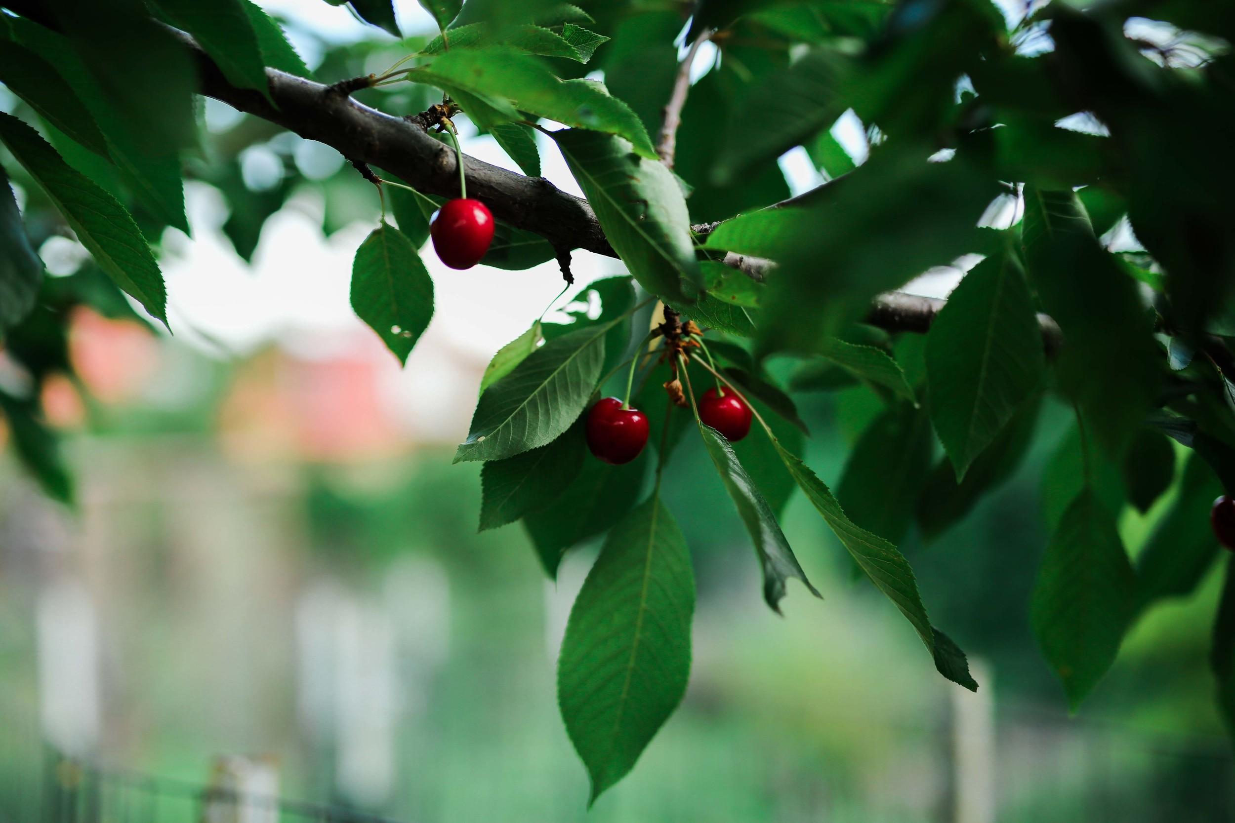 berry vanilla yogurt muffins - field + forest