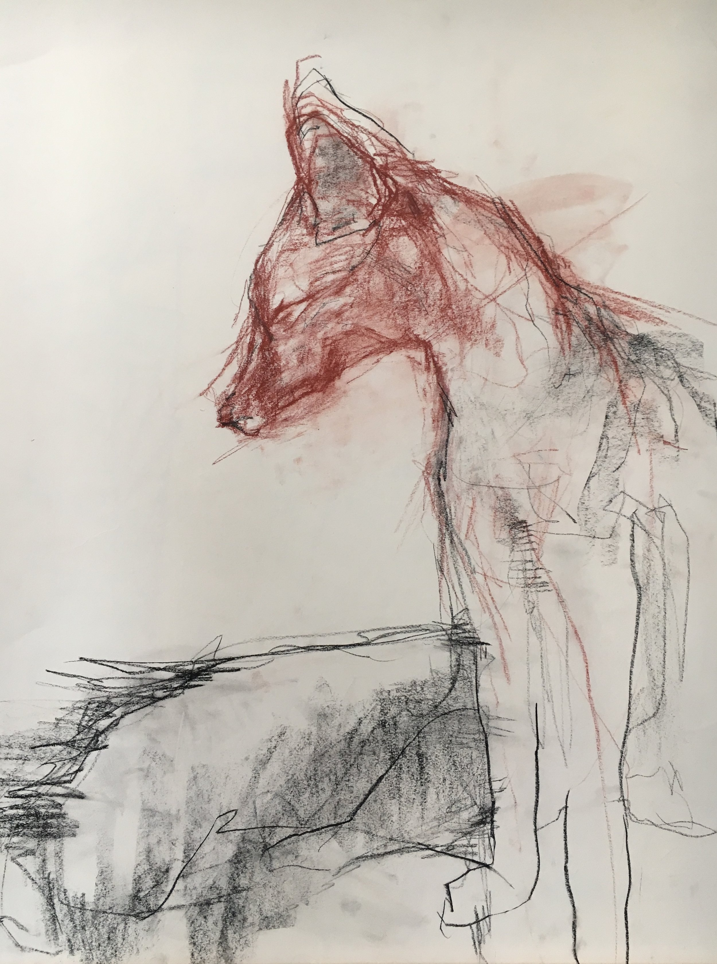 Mr Fox, Red Tail Fox Taxidermy  Conte crayon and charcoal on cream drawing paper 18 x 24 inches 2014