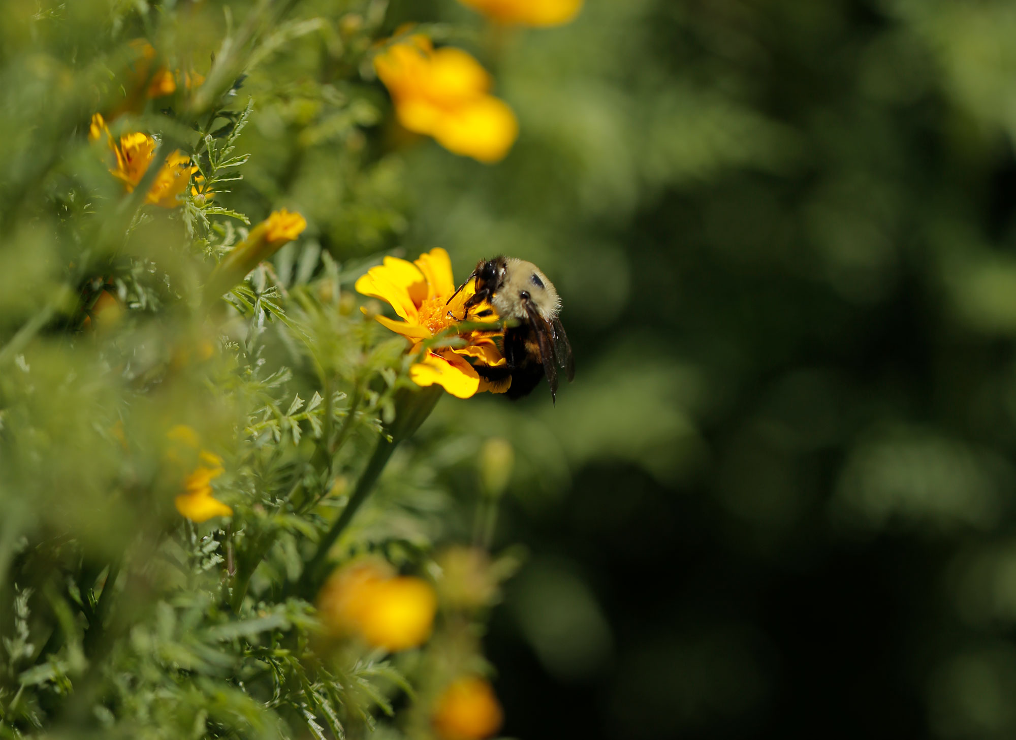 Photo of a bee pollenating a flower at Blue Hill Farm