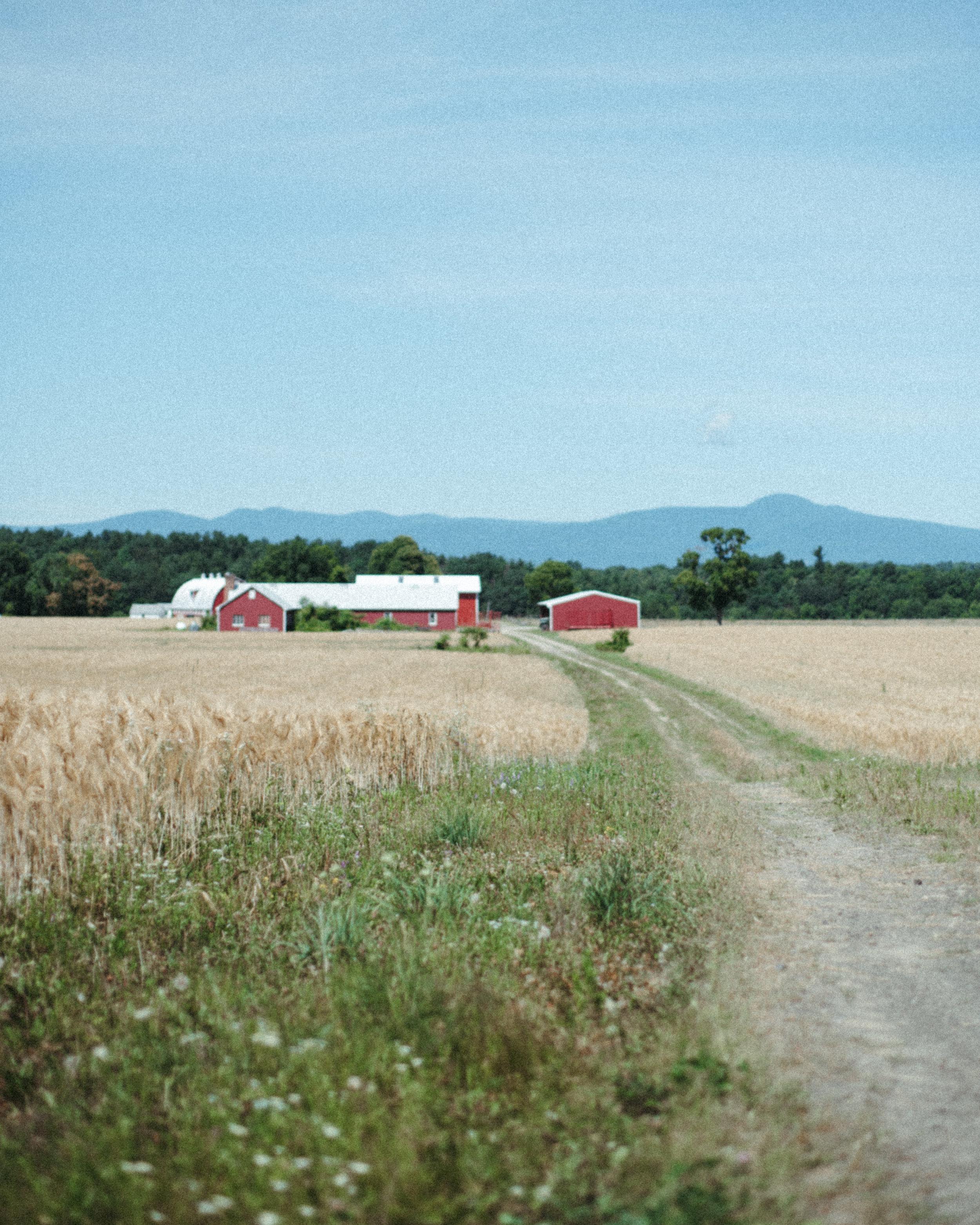 Photo of a barley field at Stone House Farm