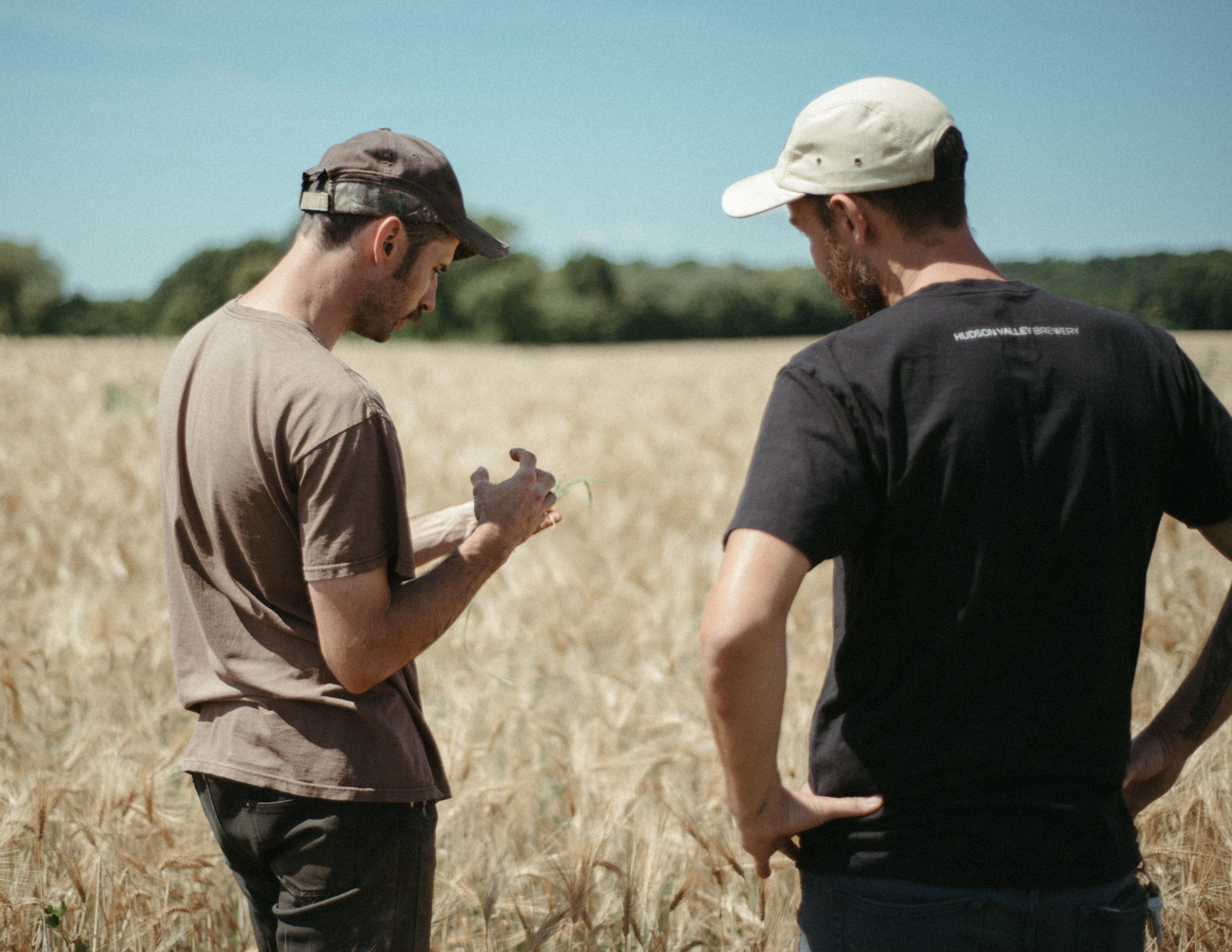 Photo of Mike checking out barley from Stone House Farm