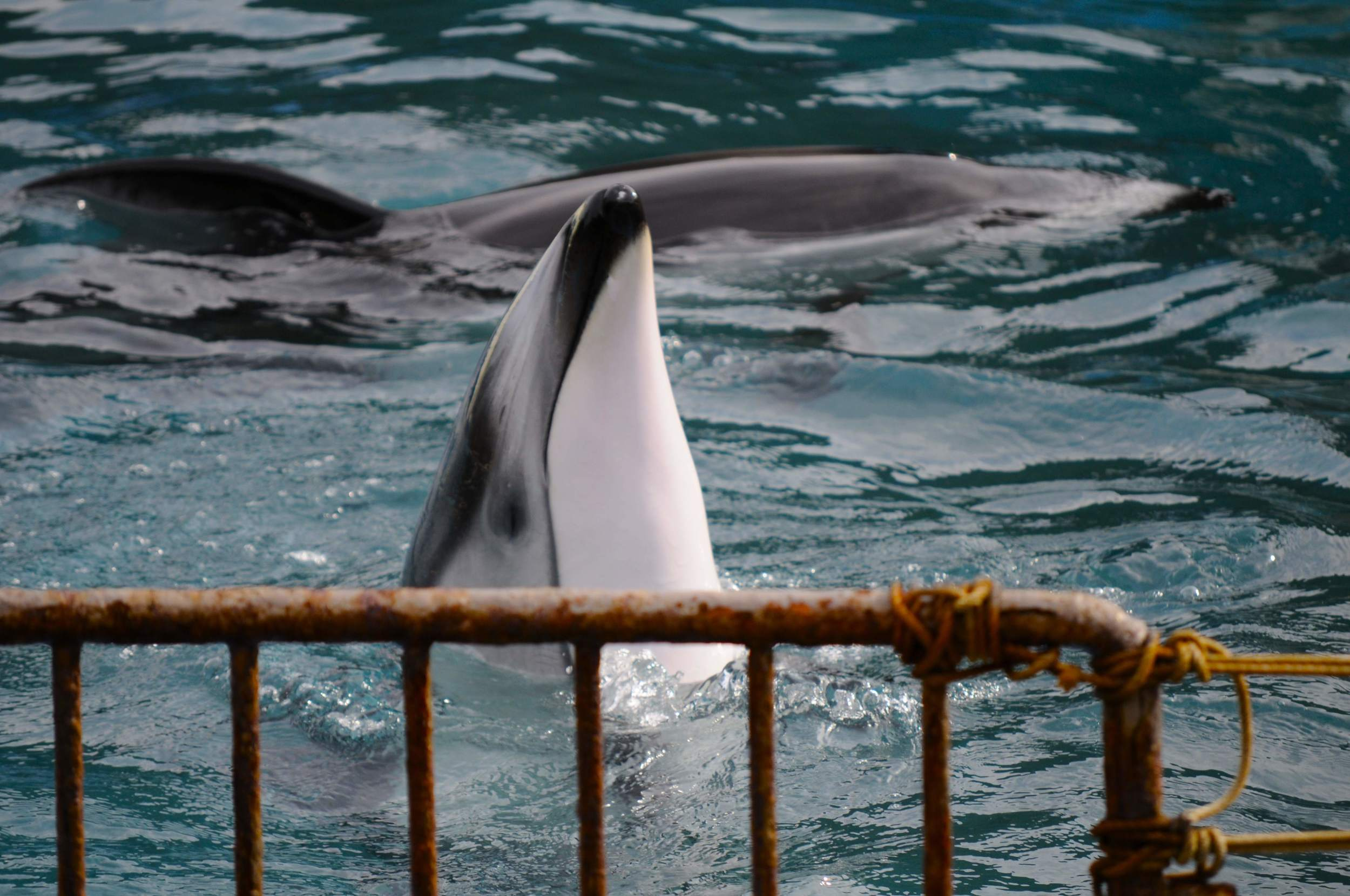 Pacific white-sided dolphin in captivity - Taiji, Japan