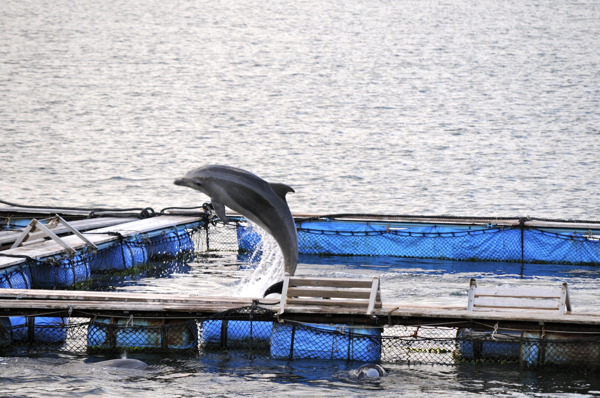 Dolphin Captivity Japan