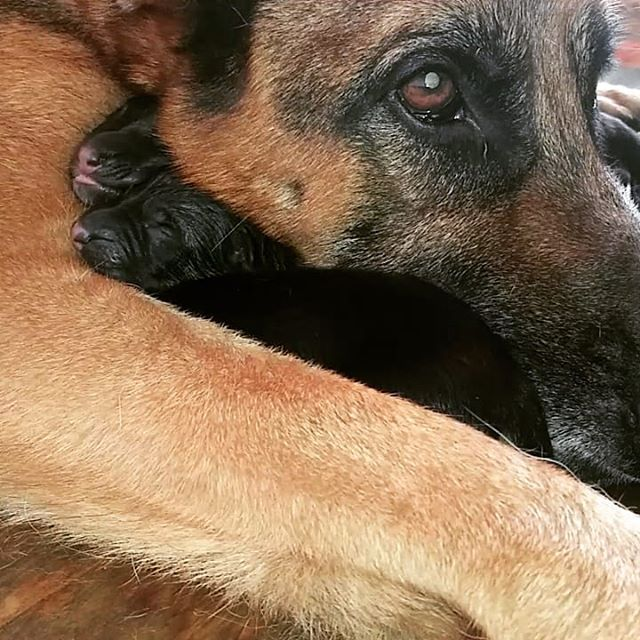 What a great Sunday. This morning our girl Zelda gave birth! Big and beautiful puppies ❤. #behaviormodification #aggressiontehab #animalpsychology #dogbehaviorists #dogtrainer #dogtraining #gsdsofig #germanshepherdsofinstagram #dogsofinstagram #dogbehaviorschool #dogschool #dogtrainingcourse #germanshepherddog #personalprotectiondog #servicedogs #puppytraining #gsdpuppy #sunday #weekend #newbornpuppies