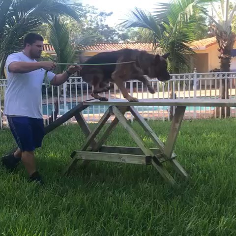 Specializing in aggression rehab and behavior modification, we are the go-to facility for any and all dog training needs from basics to advanced as well as protection and bite work. Contact VHK9 at 305.904.5577 for more details! . . . #dogtraining #dogtrainer #dogagility #floridadogtrainer #basictraining #puppytraining #behaviorist #dogsofinstagram #dogsofig #dogtrainingschool #aggressionrehab