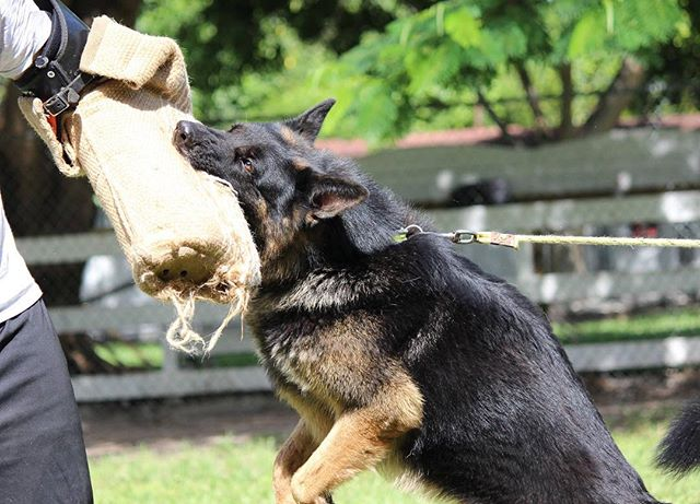 Here at Van Hendrix K-9, we specialize in all degrees of training. No case is too difficult for our trainers and behaviorists. Our approach is like no other, so call us for any and all basic training, obedience training, off-leash training, behavior modification and/or aggression rehab needs (305)904-5577 . . . . #dogtraining #basictraining #basicobedience #puppytraining #offleashtraining #behaviormodification #aggressionrehab #bitetraining #protectiontraining #floridadogboarding #dogbreeder #germanshepherdbreeder #gsd #gsdtraining #gsdpuppies #germanshepherdpuppies #puppiesforsale