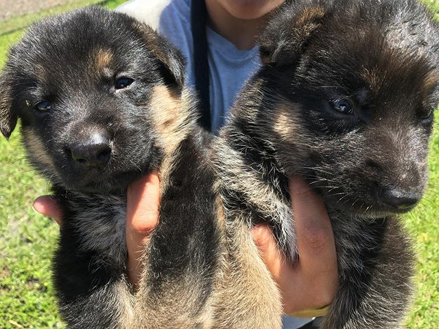 Beautiful pups like these are still available for purchasing! Healthy, up-to-date with their shots, strong bloodline, professionally bred and ready to find forever homes! Call, DM, or e-mail us if interested! (305)904-5577 | info@vhk9.net . . . #germanshepherd #gsdpuppies #germanshepherdpuppies #germanshepherdsforsale #purebred #akcpuppies #floridapuppies #germanshepherds #dogbreeder #gsdbreeder #dogtrainer #dogtraining