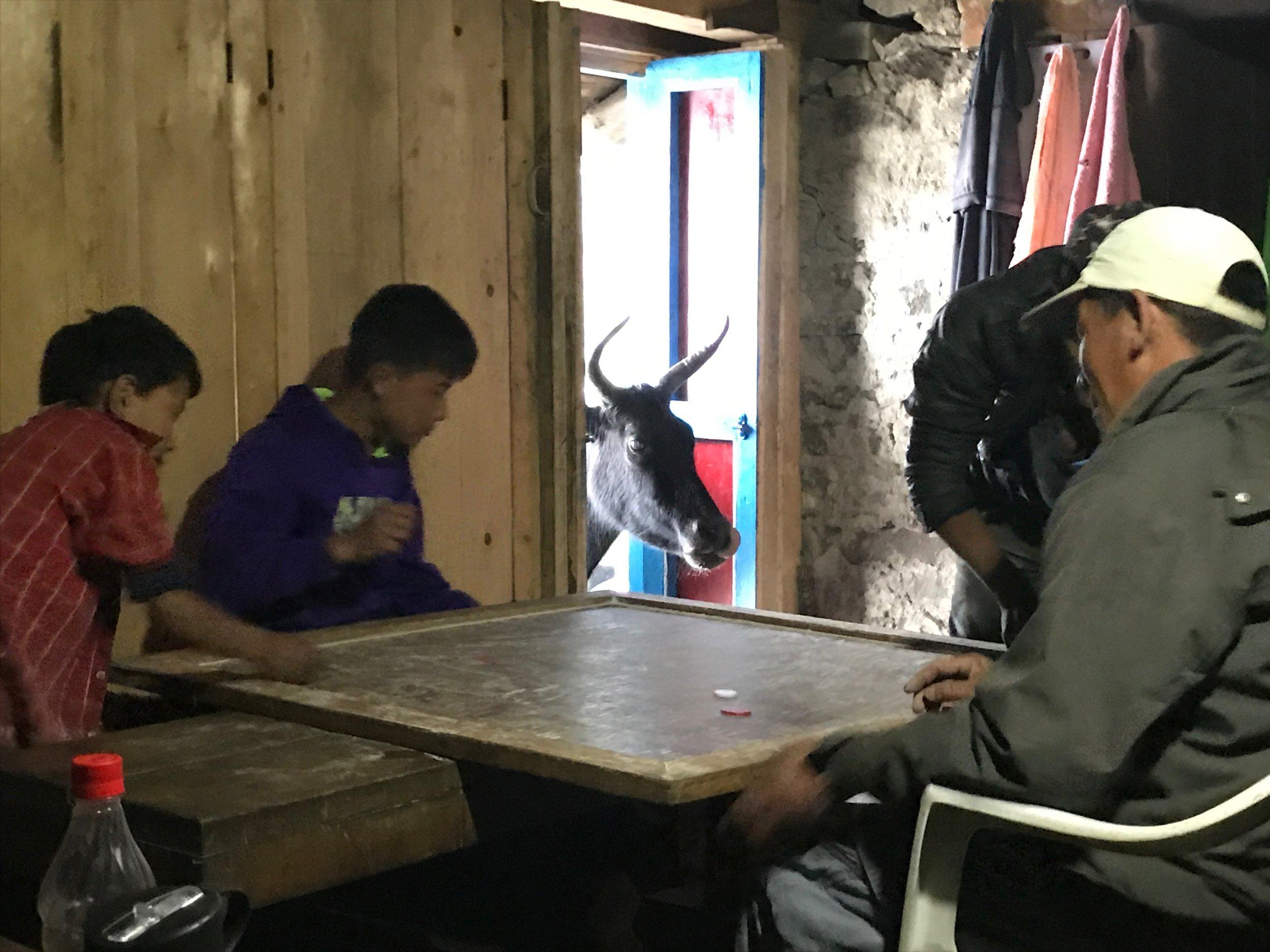 yak visiting the PK tea house